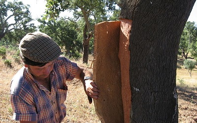 Workers Harvesting Bark from Cork Oak Tree