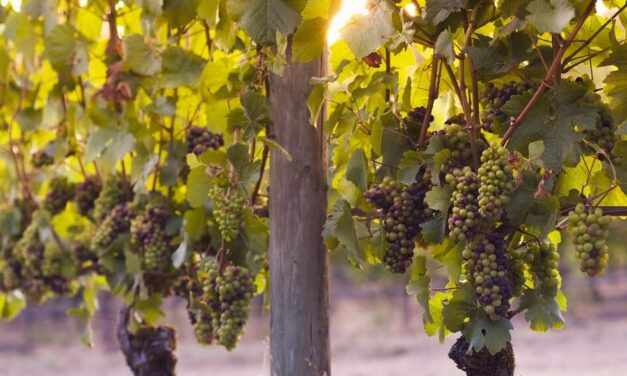 Pinot Grigio and Pinot Gris – Are They the Same?