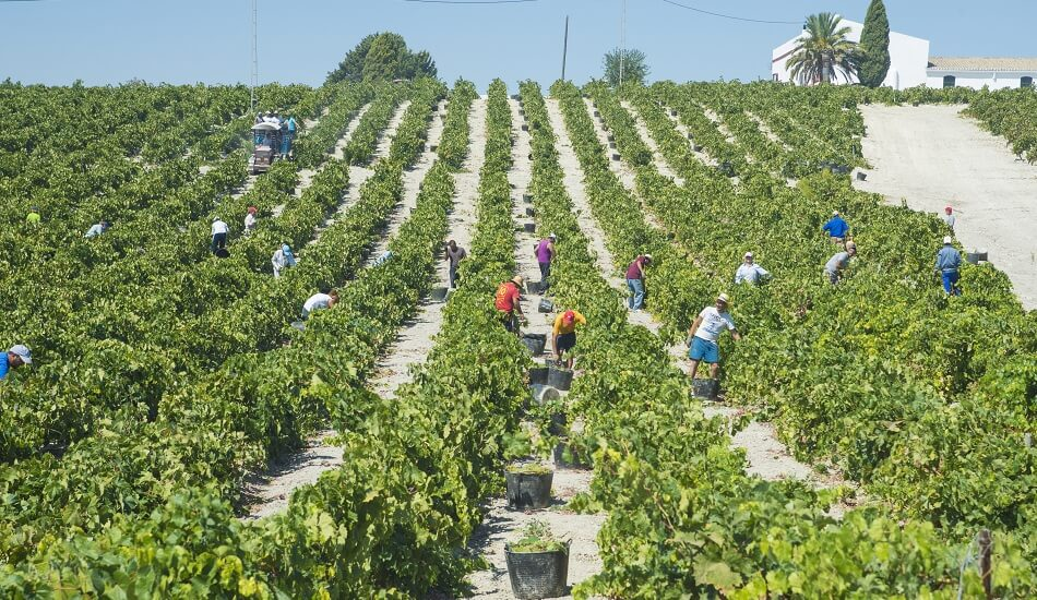 Workers harvesting grapes for Amontillado production in Jerez de la Frontera, Spain