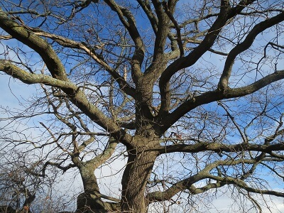 French Oak Tree Without Leaves