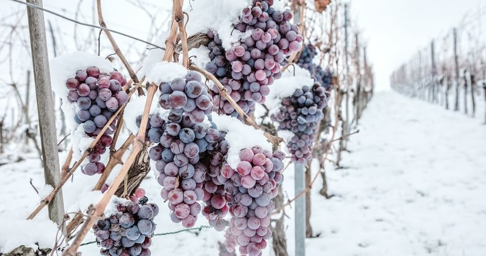 Frozen Grapes on Vinestock for Ice Wine Production