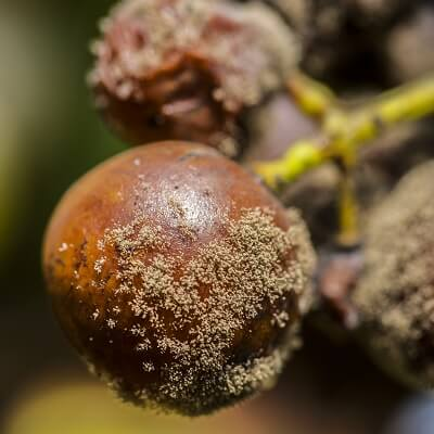 Close Up of Wine Grape Infected With Noble Rot