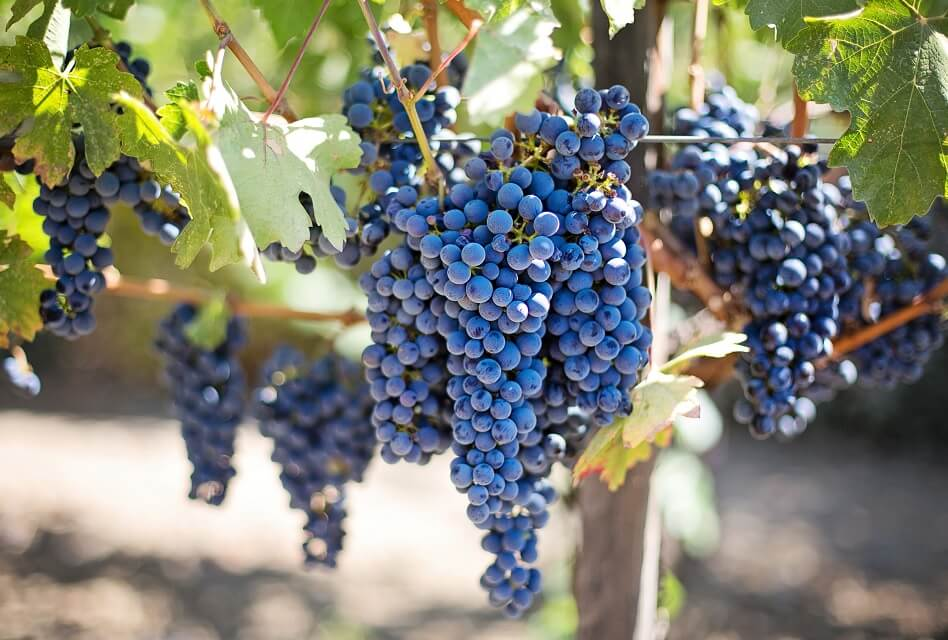 Organic Wine vs. Regular Wine – What Is the Difference?