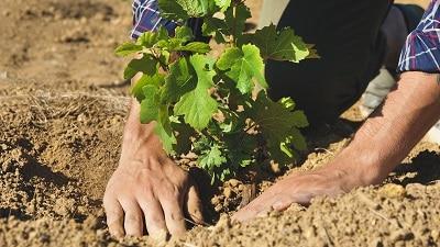 Vintner planting new Vine