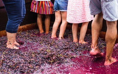 Tourists stomp wine grapes in Madeira