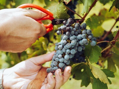 Worker Harvests Red Wine Grapes