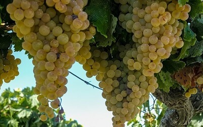 Palomino Grapes for Sherry Production