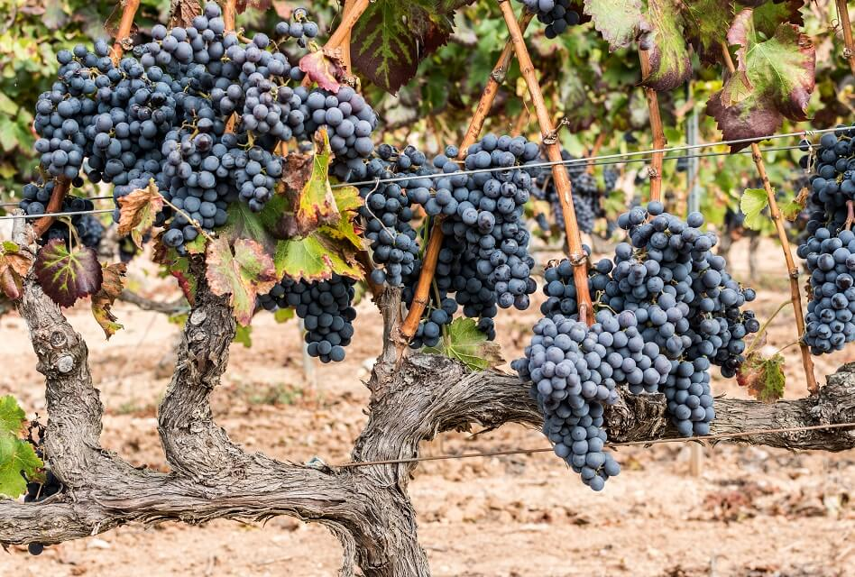 Grenache – The Grapes That Like It Hot and Sunny