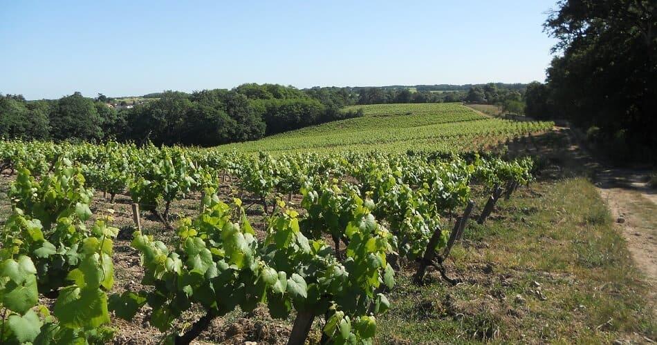 Vineyard of Melon de Bourgogne Grapes for Muscadet Wines